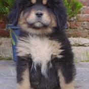 Photo de Dogue du tibet
