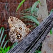 Photo de Papillon - hibou