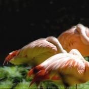 Photo de Flamand rose