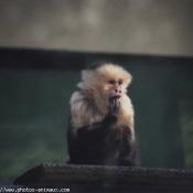 Photo de Singe - capucin