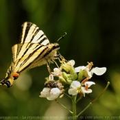 Photo de Papillon - flambé