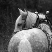 Photo de Percheron