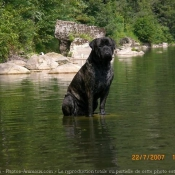 Photo de Bullmastiff