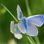 Photo de Papillon - le bel argus