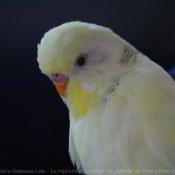 Photo de Perruche ondulée