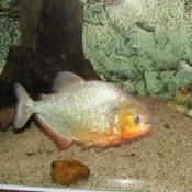 Photo de Poisson - piranha