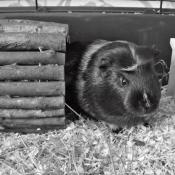 Photo de Cochon d'inde - couronné américain