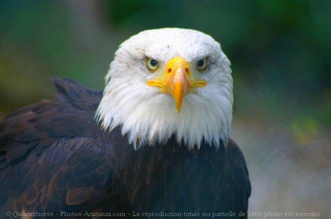 Photo d'Aigle - bateleur des savanes