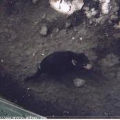 Photo de Diable de tasmanie