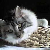 Photo de Kurilian bobtail poil long