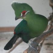 Photo de Touraco vert