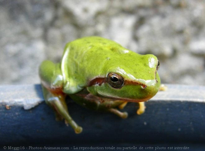 Photo de Grenouille - rainette verte
