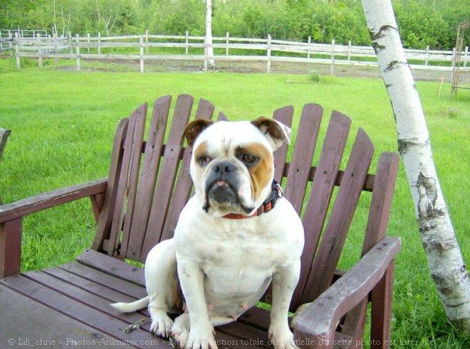 Photo d'Olde english bulldogge