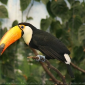 Photo de Toucan toco