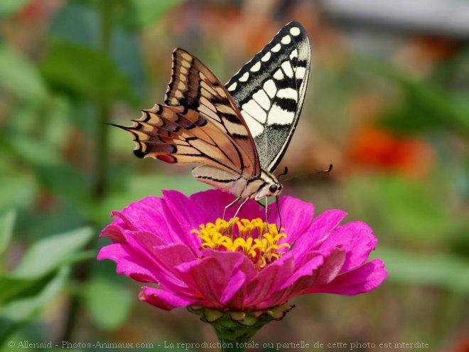 Photo de Papillon - machaon