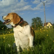 Photo de Beagle