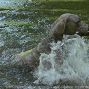 Photo de Braque de weimar poil court