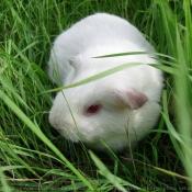 Photo de Cochon d'inde - albinos