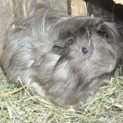 Photo de Cochon d'inde - shelty