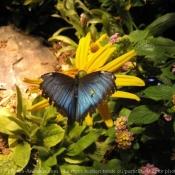 Photo de Papillon - morpho bleu