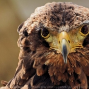 Fond d'écran avec photo d'Aigle - bateleur des savanes