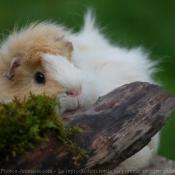 Photo de Cochon d'inde - abyssin / rosette