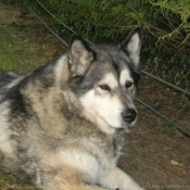 Photo de Malamute de l'alaska