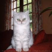 Photo d'Exotic shorthair