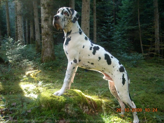 Photo de Dogue allemand