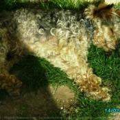 Photo de Fox terrier à poil lisse