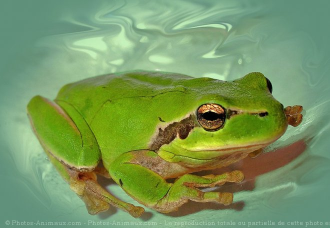Photo de Grenouille - rainette verte