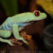 Photo de Grenouille - rainette aux yeux rouges