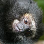 Photo de Singe - tamarin à mains rousses
