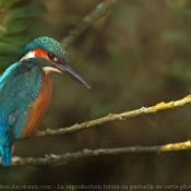 Photo de Martin-pêcheur
