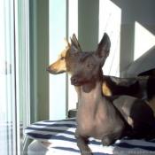 Photo de Xoloitzcuintle taille standard