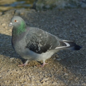 Photo de Pigeon