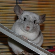 Photo de Chinchilla