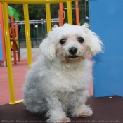 Photo de Bichon maltais