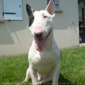 Photo de Bull terrier miniature