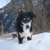 Photo de Bouvier de l'appenzell