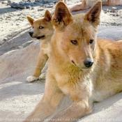 Photo de Dingos