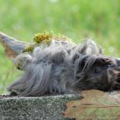 Photo de Cochon d'inde - péruvien