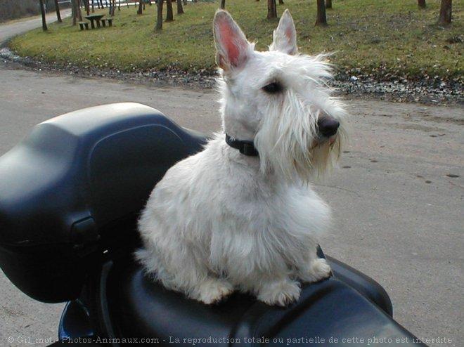 Photo de Scottish terrier