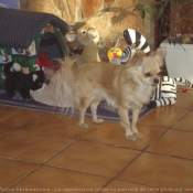 Photo de Chihuahua à poil long