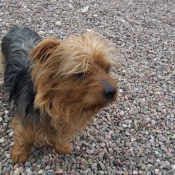 Photo de Yorkshire terrier