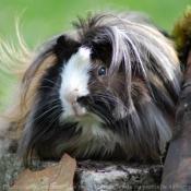 Fond d'écran avec photo de Cochon d'inde - péruvien