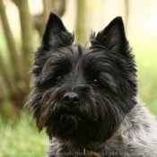 Photo de Cairn terrier