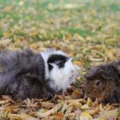 Photo de Cochon d'inde - races différentes