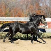 Fond d'écran avec photo de Quarter horse
