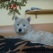 Photo de West highland white terrier